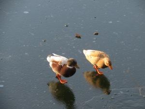 Ducks on ice 8 Feb 2015