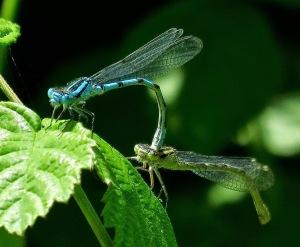 Mating damsels Summer 2015 7